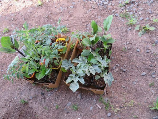 子どもと家庭菜園をするデメリットとは