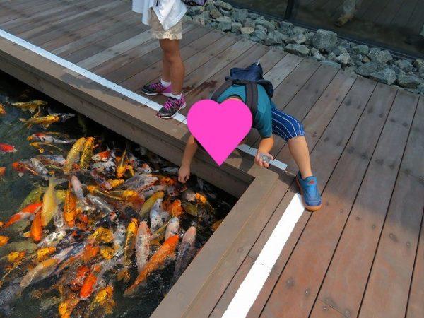 うみがたりフィーディングプールで鯉に餌やり