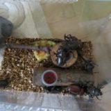 カブトムシ飼育時のコバエ対策
