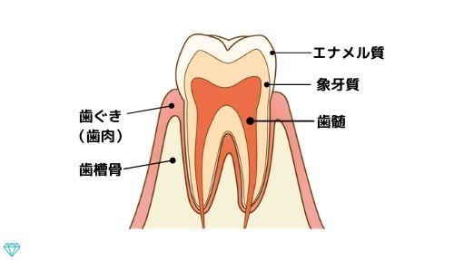 歯の構造は外側からエナメル質、象牙質、歯髄です